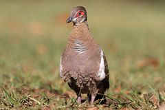 Partridge pigeon Royalty Free Stock Photo