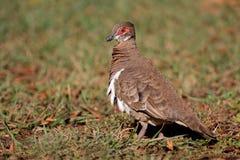 Partridge pigeon, Australia Royalty Free Stock Photography