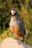 Partridge singing Royalty Free Stock Photo