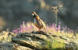 Partridge singing Stock Photos