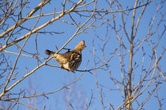 Partridge in a tree. Partridge perched in a bare tree against blue sky Stock Photos