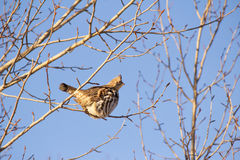Partridge in a tree. Partridge perched on the branch of a bare tree Royalty Free Stock Photo