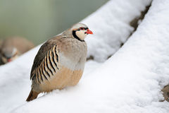 Partridge in winter Royalty Free Stock Photo