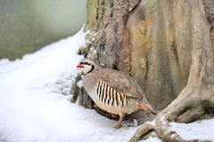 Partridge in winter Stock Photography