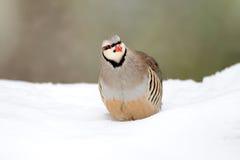 Partridge in winter stock photos