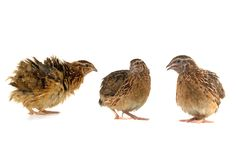Partridges Stock Images