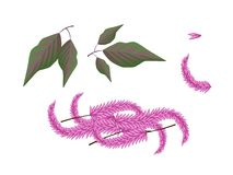 Parts of Amaranthus Cruentus Plant on White Backgr Stock Images