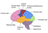Parts of Brain Royalty Free Stock Image