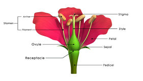 Parts of a flower. Peduncle: The stalk of a flower Stock Images