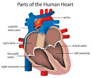 Parts of the heart. Illustration of parts of the heart Stock Photos