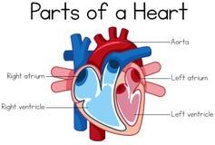Parts of heart diagram. Illustration vector illustration
