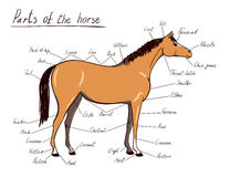 Parts of horse. Equine anatomy. Equestrian scheme with text Stock Photo