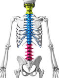 Parts of human spine. 3d rendered illustration - human spine Stock Photos