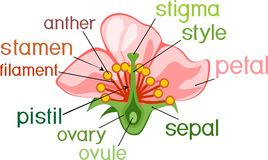 Parts Of Flower With Titles. Cross Section Of Typical Angiosperm Flower Stock Image