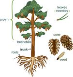 Parts Of Plant. Morphology Of Pine Tree With Crown, Root System And Cone With Titles Royalty Free Stock Image