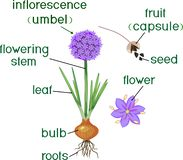 Parts of plant. Morphology of flowering onion plant with green leaves, bulb, roots and titles royalty free illustration