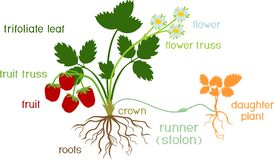 Parts of plant. Morphology of garden strawberry plant with roots, flowers, fruits, daughter plant and titles royalty free illustration