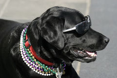 Party Animal. Black lab in sunglasses and mardi gras beads Stock Photo