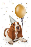 Party Basset Hound With Balloon Stock Image