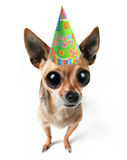 Party chihuahua Royalty Free Stock Image