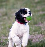 A closeup of a cocker spaniel playing with a green ball. stock photography