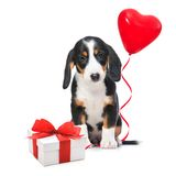 Party dog. With gift boxes and balloons. Isolated on white background Royalty Free Stock Photo