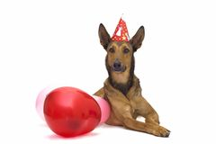 Party dog with balloons. Belgian Sheepdog (Malinois) is ready for a birthday party Royalty Free Stock Photography