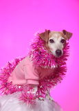 Party dog in pink. A cute little attentive Jack Russell terrier dog with lipstick kiss on his cheek dressed up in fancy pink for a party on pink studio stock image