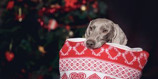 Party dog Weimaraner with a pillow in his teeth royalty free stock photo