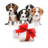 Party dogs. Four puppies from a puppy litter behind the gift boxes.Isolated on white background Stock Images