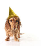 Party pup Royalty Free Stock Photo