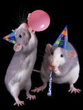 Party Rats. Two rat sisters are throwing a party-- one is blowing up a balloon Stock Photos