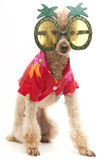 Party Time. A poodle wearing a Hawaiian shirt and sunglasses with pineapples,  on a white background Royalty Free Stock Photo