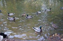 Ducks being ducks Stock Photos