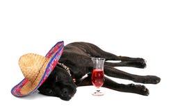 Partying mastiff Royalty Free Stock Photos