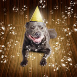 Partytime for a staffie birthday dog. Partytime for a beautiful blue pedigreed staffordshire bull terrier dog on his birthday or New Year lying smiling on a wood Royalty Free Stock Image