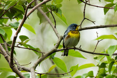 Parula warbler Stock Photography