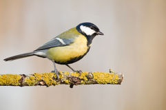 Parus Stock Photography