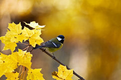 Parus Stock Photos