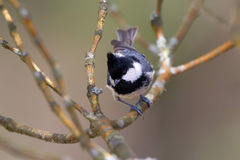 Parus ater, Coal Tit Royalty Free Stock Photography
