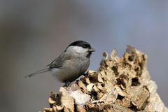 Parus ater. Is a kind of forest birds , widely distributed in Asia , Europe and Africa , active and brave , they are so tame and will sit on your shoulder Stock Photo