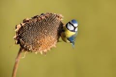 Parus belangrijke, Blauwe mees Een kleine vogel zit op een zonnebloeminstallatie en voedt zonnebloemzaden Royalty-vrije Stock Foto's