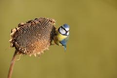 Parus belangrijke, Blauwe mees Een kleine vogel zit op een zonnebloeminstallatie en voedt zonnebloemzaden Royalty-vrije Stock Afbeeldingen