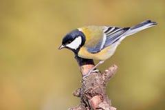 Parus belangrijke, Blauwe mees Het wildlandschap, meeszitting op een tak Stock Foto