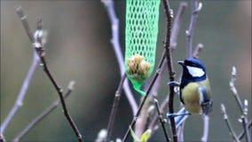 Parus bird eats fat bird seed stock video footage