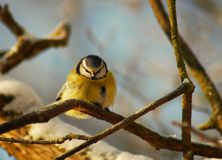 Parus caeruleus Royalty Free Stock Photography