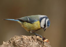 Parus caeruleus tit Royalty Free Stock Photos