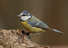 Parus caeruleus tit Stock Photography