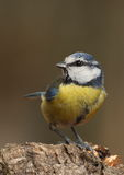 Parus caeruleus tit  on a branch. Looking at the camera with a brown background Stock Photos