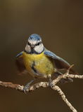 Parus caeruleus tit perched on a branch. Flapping wings Royalty Free Stock Photography